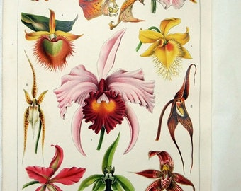 Orchids - Original 1899 Chromo-Lithograph by Meyers. Kirschen