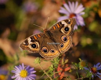 Buckeye butterfly, butterflies, insects, photography, wall art, home decor, print, nature photography, free shipping, metal, wildlife