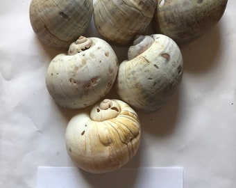 Snail Shells - 2 different assortments