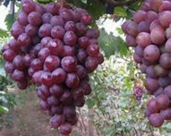 Grape seeds. Concord grape seeds, grapvines. live plant seeds