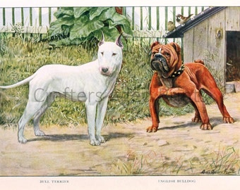Bull Terrier and English Bulldog illustration by Louis Agassiz Fuertes from a Vintage 1927 Book Page