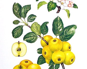 Apple Print - Yellow Ingestrie Apples - Kitchen Decor - Wall Hanging - Vintage 1993 Book Page - 9 x 8