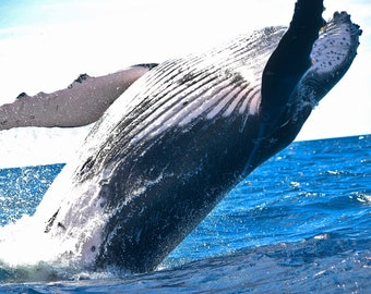 The Majestic Whale, Whale Photography, All profits donated to TheirForeverHome.org