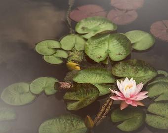 Water Lily Photograph, Nature Photo, Blush Pink Wall Art Prints - dark green, feminine home decor, nursery, Botanical Print, Art for Walls