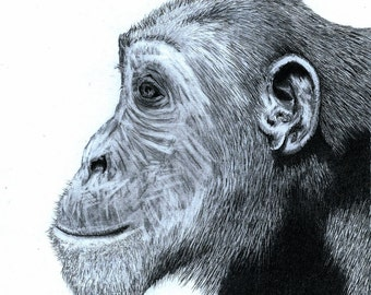 Chimpanzee - Pencil Drawing Print : Limited Edition Of 100 Hand Numbered