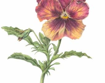 "Pansy -  unframed botanical art print - home decor - colored pencil drawing - 8"" x 10"" - spring flower - viola  - wall art - gardener gift"