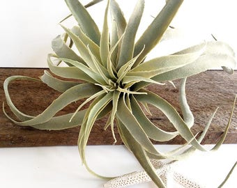 Faux Xerographica, mid size air plant, tillandsia, faux tillandsia, faux air plant, gray air plant, air plant, fuzzy air plant, large gray