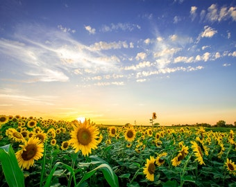 Iowa sunflower patch - field of sunflowers at sunset - canvas print
