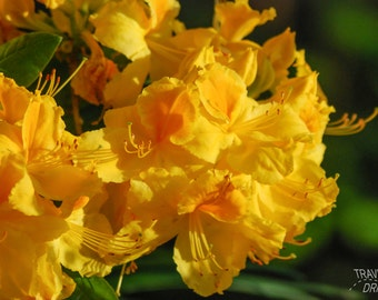 Yellow Rhododendron Flower Photography-Garden-Wall Art-Fine Art Photography-Home Decor