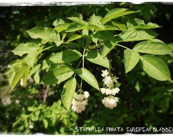 Staphylea pinnata 'European Bladdernut' [Ex. Slovakia] 10 SEEDS