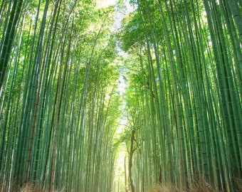 Bamboo Forest, Kyoto Japan