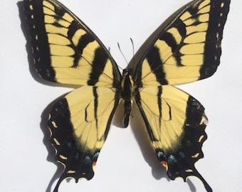 Real Butterfly // Dried Butterfly // Loose Butterfly // Eastern Tiger Swallowtail // Taxidermy Butterflies