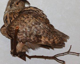 Eurasian Eagle-Owl - Taxidermy Bird Mount, Stuffed Bird For Sale - ST4035
