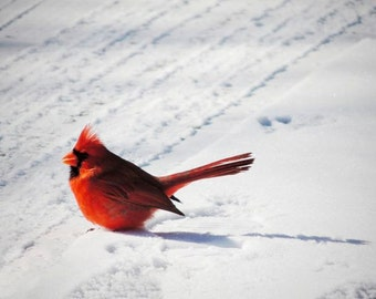 Mr. Cardinal 2014 (No.3) - Bird Art - Male Cardinal - Red Cardinal - Winter  Bird - Nature Art - New York Cardinal - Bird(Animal) Photograph