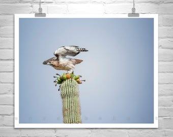 Red Tail Hawk Art, Saguaro Photograph, Hawk Picture, Arizona Nature Photography, Hawk Photo, Bird Print, Cactus Art, Gift for Birder