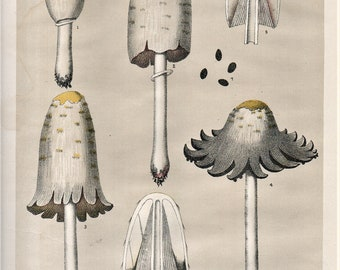 1895 Original Large Chromolithograph Mushroom Color Plate Charles H. Peck & C. Fausel SHAGGY COPRINUS an Edible 1800s
