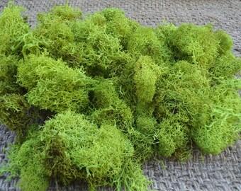 Reindeer Lichen-Chartreuse
