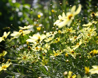 Coreopsis Blowing in the Breeze 8x10 print