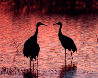 Sandhill Crane Art Bosque del Apache National Wildlife Refuge, Socorro, New Mexico Color Fine Art Photograph