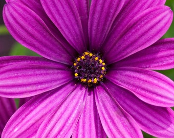 Daisy Print, Photo, Daisy Picture, Photography, Purple Daisy, Flower Art, Floral, Nature, Daisies, Spring Decor, Summer