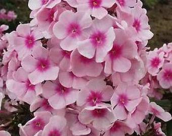 100 PINK DRUMMOND PHLOX Phlox Drummondii Flower Seeds