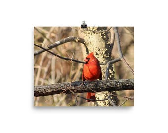 Cardinal in Winter, Male cardinal, Cardinal wall art, Bird