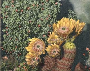 Texas Rainbow Cactus Botanical Vintage Postcard (unused)