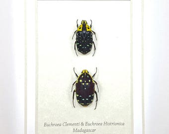 FREE SHIPPING Framed Euchroea Clementi & Euchroea Histrionica Jewel Flower Beetle Taxidermy A1 #102