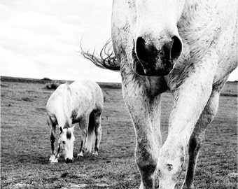 white horse photograph, black and white photography - horses ranch pasture, nature photography Colorado landscape