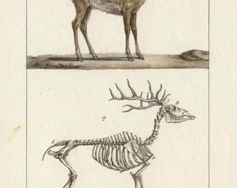 Cariacou Deer - Antique French natural history lithograph, 1832