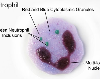 Neutrophil White Blood Cell Fused Glass Ornament Magnet