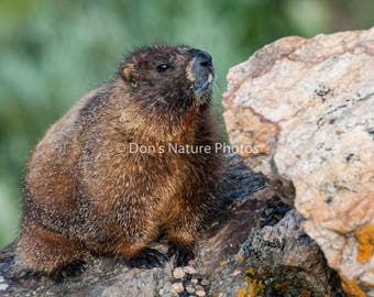 Marmot, Rocky Mountain National Park, Colorado. 8X10 #2133