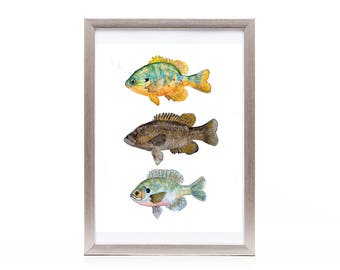 fish art print from original watercolor painting, fresh water fish wall art, animal watercolor art, affordable gift, under 25, gift for him