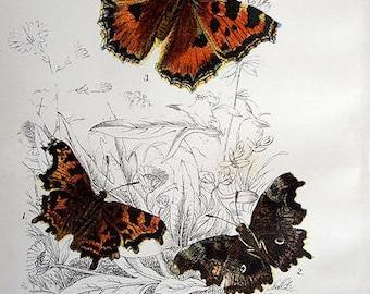 Fine Original Antique Chromolithograph print butterflies 1896