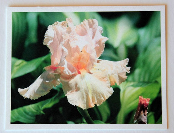 Peach Iris, flowers, note card, blank greeting card, flower photo, green, fine art, single card, photo greeting card, garden, nature