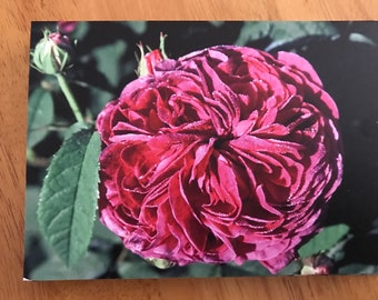 blank greeting card featuring the Gallica rose, Charles de Mills. Pack of 3