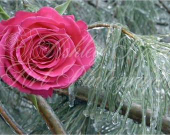 Pink Rose in Icy Tree/Nature Photography/Home Décor  Wall Art