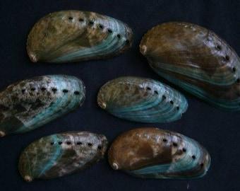 Haliotis Assinina (Rare with Green) Abalone Shell (EA)