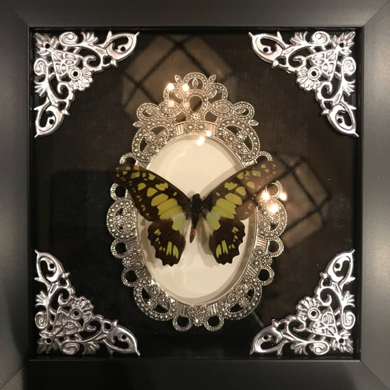 Beautiful lime green butterfly taxidermy display!