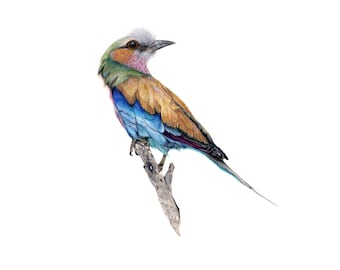 Bird Illustration. Lilac Breasted Roller.  Giclee Print, Wall Art, Watercolor Print, Illustration.