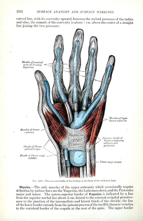 Die menschliche Hand schleimigen Hüllen der Sehnen 1918