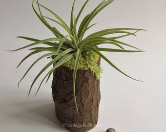 Air plant pine log planter, cute houseplant gift! Live Tillandsia airplant!