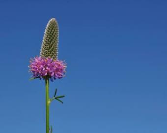 Purple Prairie Clover Wildflower Packet