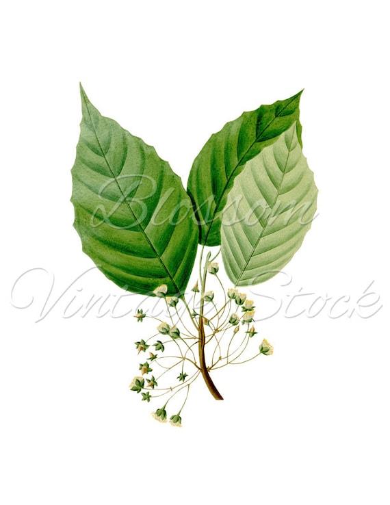 Antique Botanical Print Wall Decor Leaves PNG Image