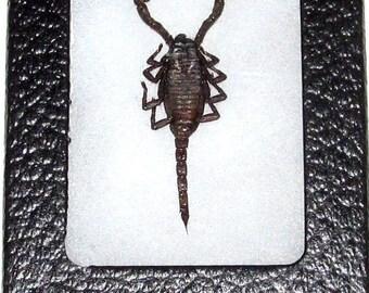 Real framed black scorpion arachnid stinger