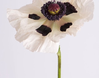 Poppy Photography - Botanical Photograph, Floral Still Life Photography, Large Wall Art, Home Decor