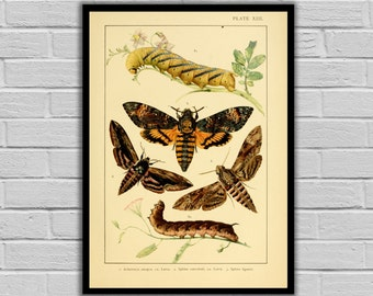 Vintage Lithograph Print - Antique Moth & Caterpillars Print/Canvas - Lepidoptera Decor - Butterfly and Moth Wall Art - 239