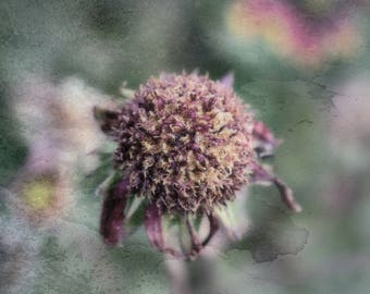 Dried Flower, Still Life, Everlasting Flowers, Dried Daisy, Antiqued Flowers