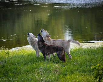 Chorus Howl: A Pack of Three Wolves Singing Together