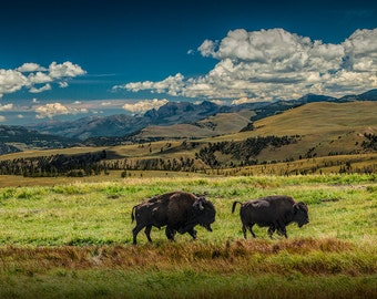Animal Wildlife of American Buffalo Bison in Yellowstone National Park in Wyoming No.6421 - A Wildlife Animal Landscape Nature Photograph